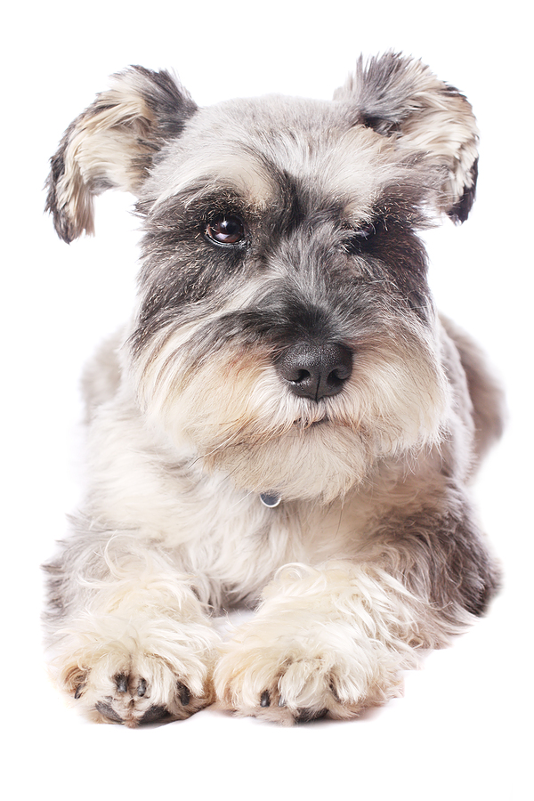 All About Miniature Schnauzer Puppies: Meeting your Expectations.